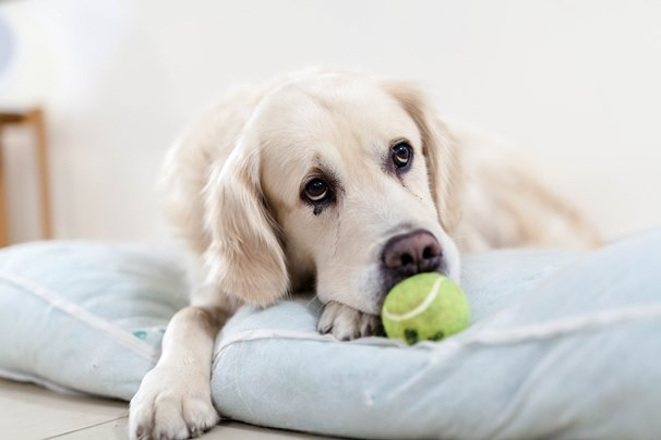 golden-retriever-with-ball
