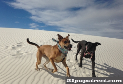 white-sands-dogs