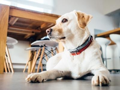 Yellow Labrador retriever kitchen
