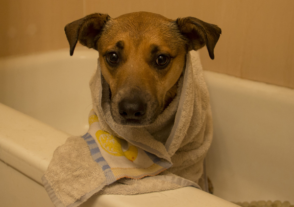 doggie-in-towel