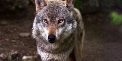 wolf-canis-lupus