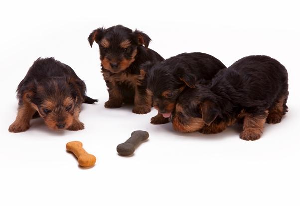 yorkshire-puppies-treat