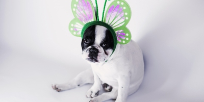 white-and-black-short-coat-small-dog-wearing-a-green-butterfly-head-band
