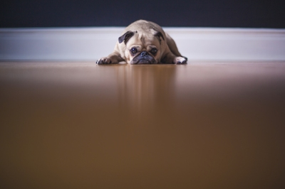 pug-dog-pouting