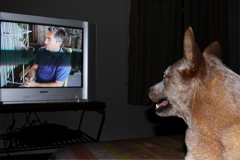 cattle-dog-watching-television