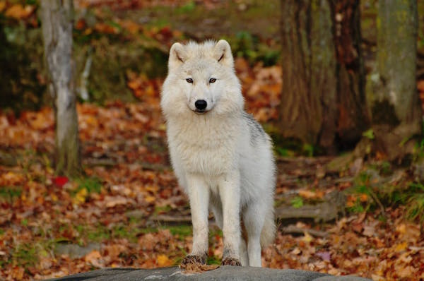 white-dog-autumn-leaves