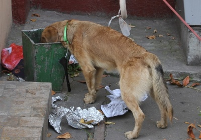 dog-eating-trash