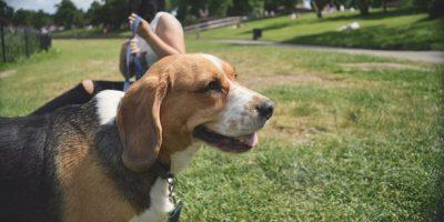 beagle-dog-park
