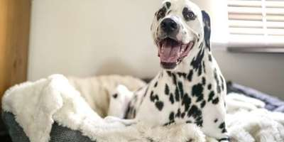 dalmatian-sitting-dog-bed